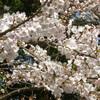 Sakura09032